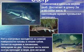 Осетр пресноводная рыба