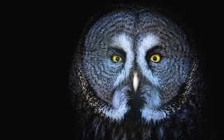 Сова ночное животное