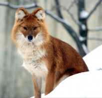 Уязвимые животные красной книги казахстана