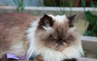 Метис персидской и гималайской кошки
