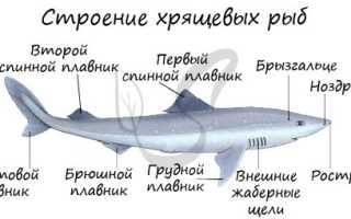 Жаберные крышки акул