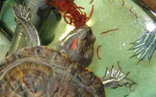 Какую рыбу можно давать черепахам