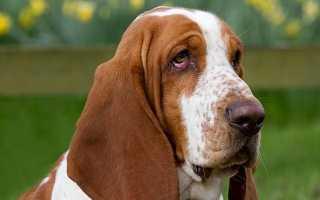 Баскет порода собак