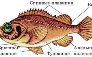 Осетр хрящевая или костная рыба