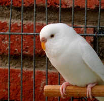 Волнистый попугай на белом фоне