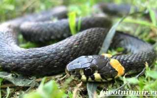 Какой бывает змея уж