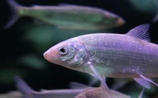 Породы семейства рыб