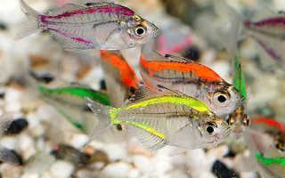 Зеленые аквариумные рыбки фото с названием