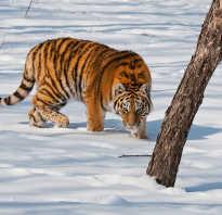 Тигры занесены в красную книгу информация