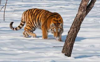 Тигр из красной книги россии
