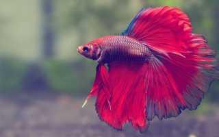 Как размножаются рыбки петушки