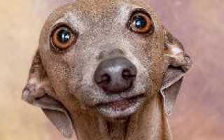 Порода собак левретка