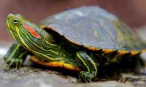 Пневмония у черепахи симптомы