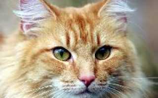 Норвежская лесная кошка трехцветная фото