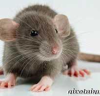 Крыса дамбо характер