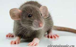 Крыса дамбо голубая фото
