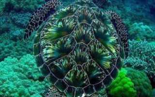Как дышит черепаха в воде