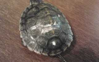 Почему у черепахи белый панцирь