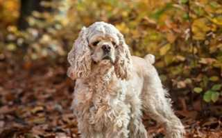 Порода собак американский кокер спаниель