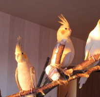 Пение попугаев корелла в дикой природе