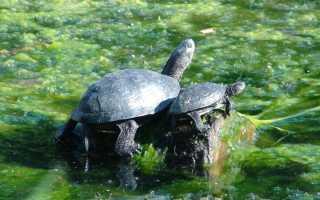 Хвост черепахи фото