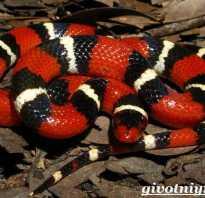 Королевская калифорнийская змея содержание