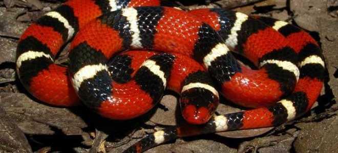 Королевская молочная змея фото
