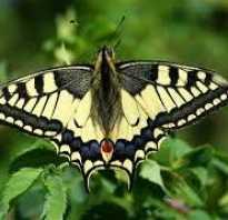 Сообщение о бабочке махаон