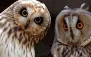 Отличие совы от филина фото