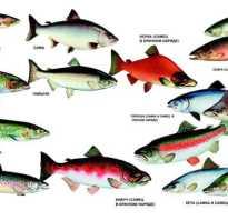 Виды лососевых рыб названия и картинки