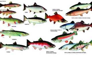 Кета лососевая рыба