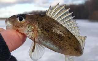 Фото рыбы ерша