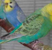 У попугаев год за сколько