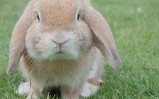 Кролик породы карликовый баран