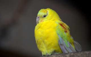 Маленький желтый попугай