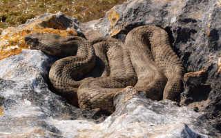 Какая змея самая быстрая в мире