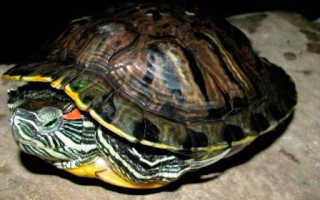 Черепаха в спячке фото