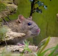 Крысоед из крысы