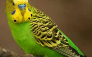 Почему попугай корелла агрессивный