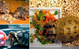 Чем кормить земноводную черепаху