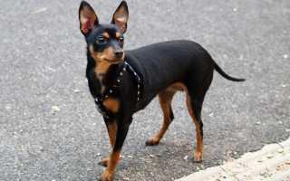 Порода собаки пражский