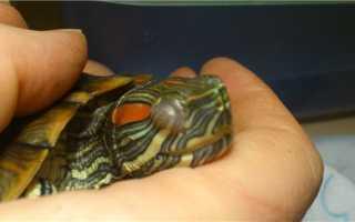 Лечение глаз у черепах