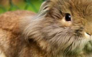 Львиноголовый декоративный кролик