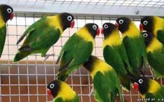 Попугаи неразлучники рисунки