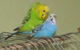 Процесс спаривания попугаев