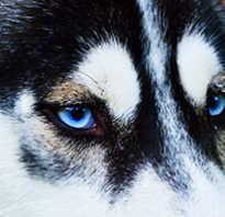 Щенки с голубыми глазами фото