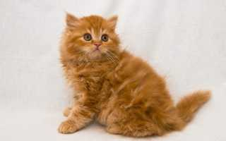 Почему мой кот рыжий