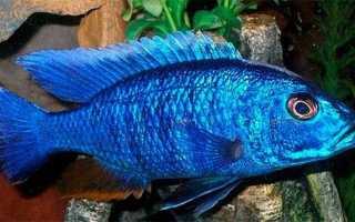 Фиолетовая рыбка в аквариуме