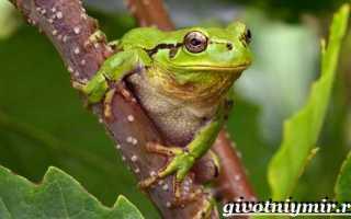 Древесная лягушка квакша