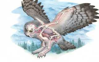 Хвост у совы